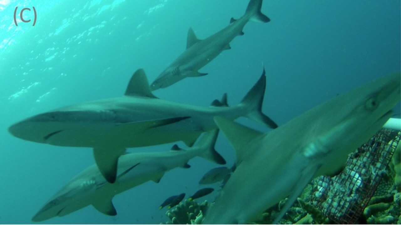 Shark population in danger due to fin harvesting