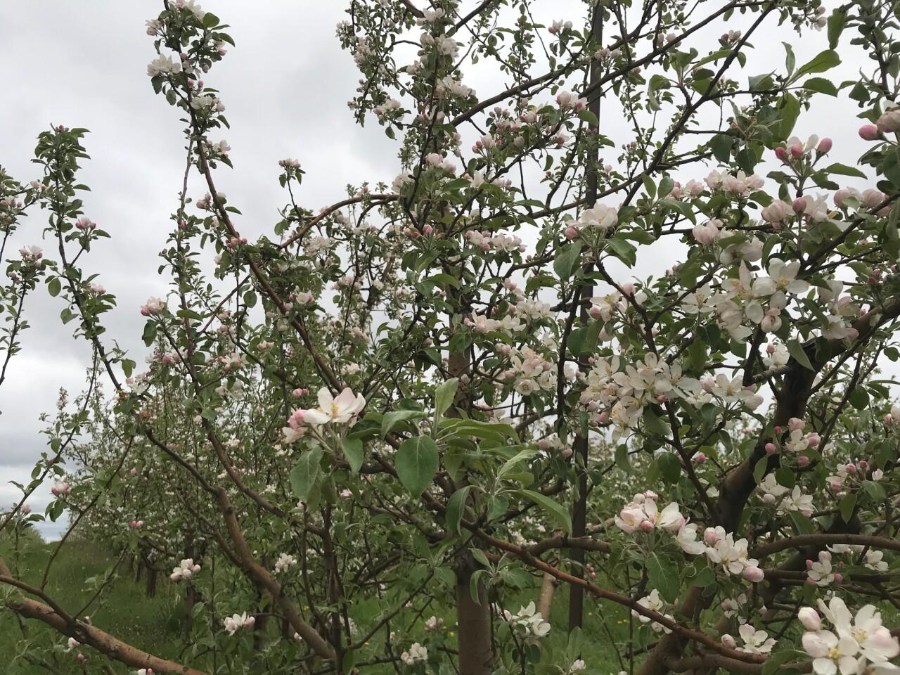 Apple Holler Apple Blossoms
