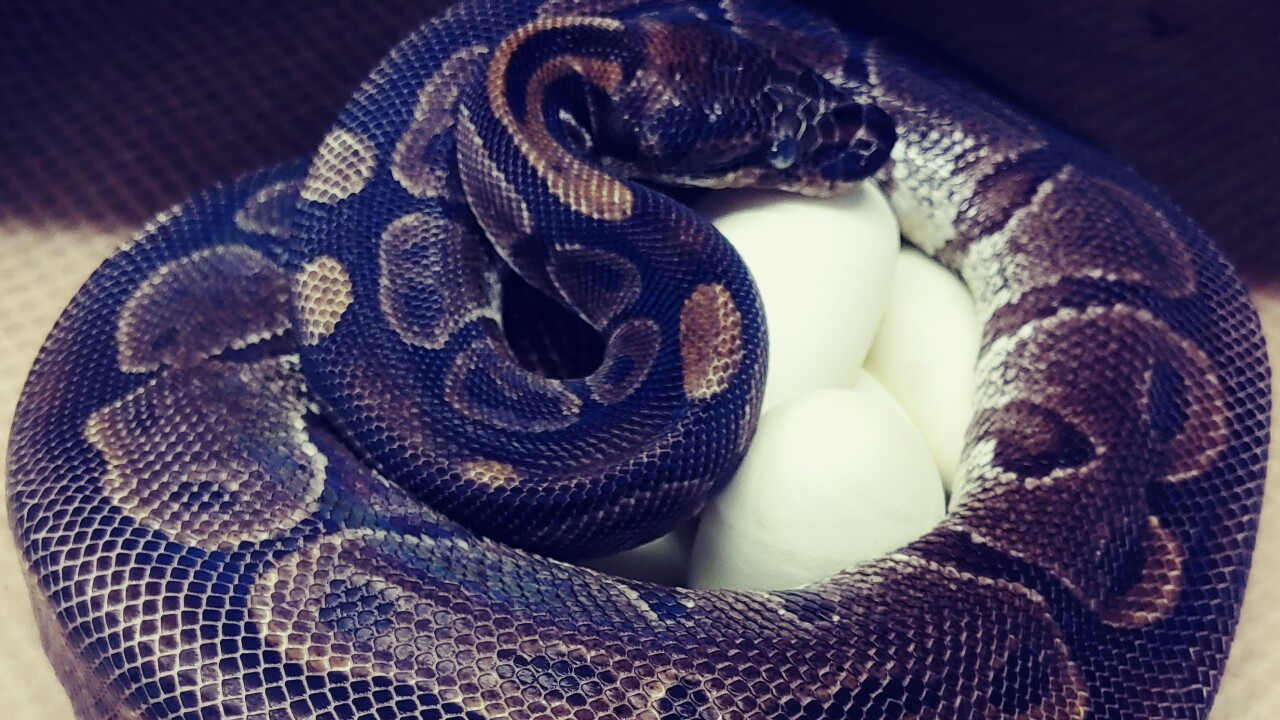 St. Louis Zoo says python laid 7 eggs without male help