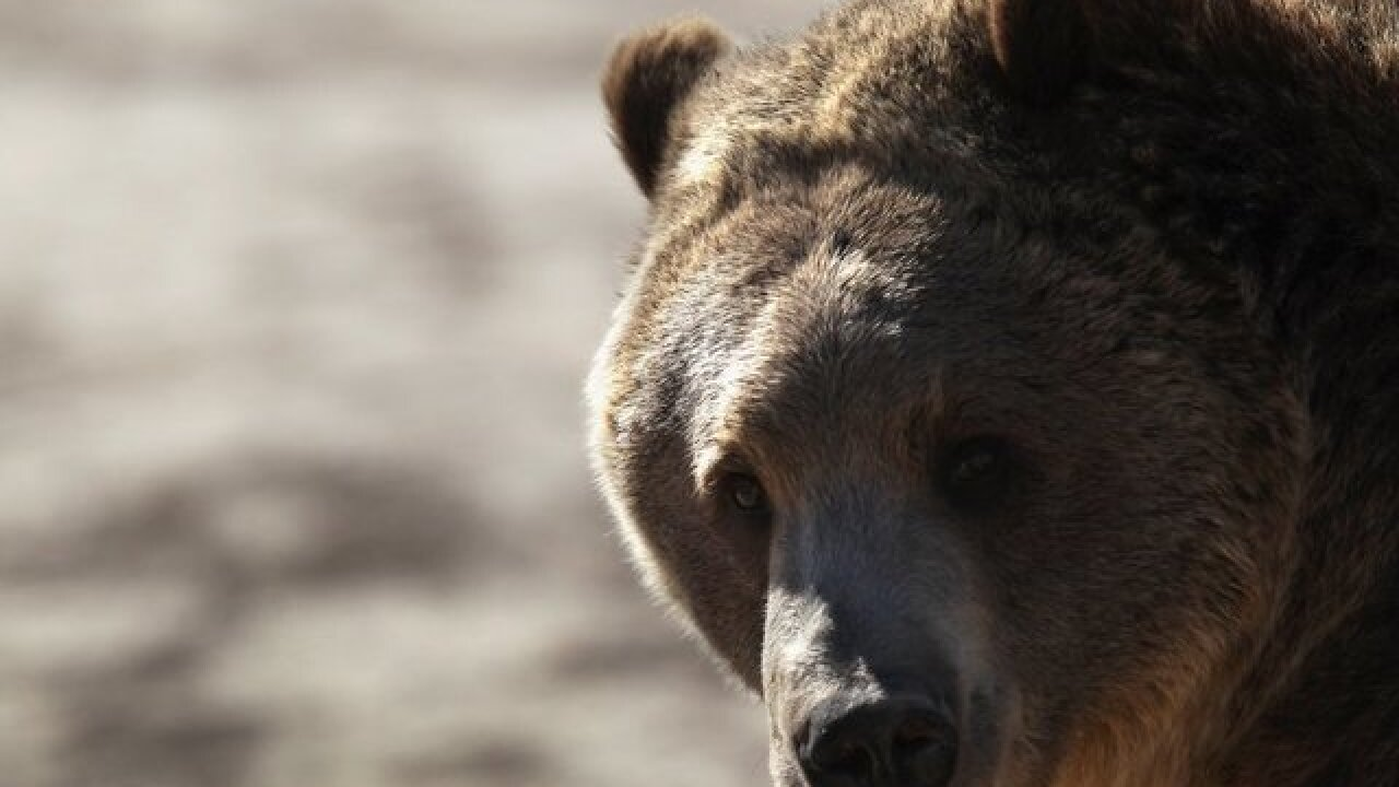 Grizzly bear attack in Wyoming kills 1, puzzles officials