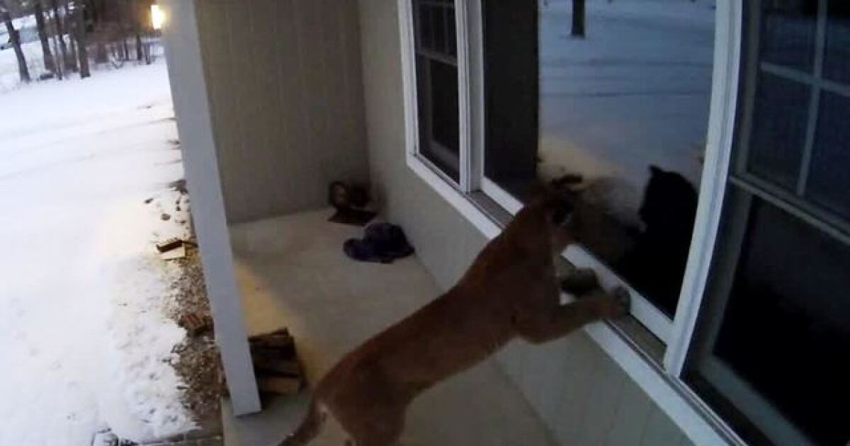 Neighbors Say Cougar Spotted For Second Time In Washington