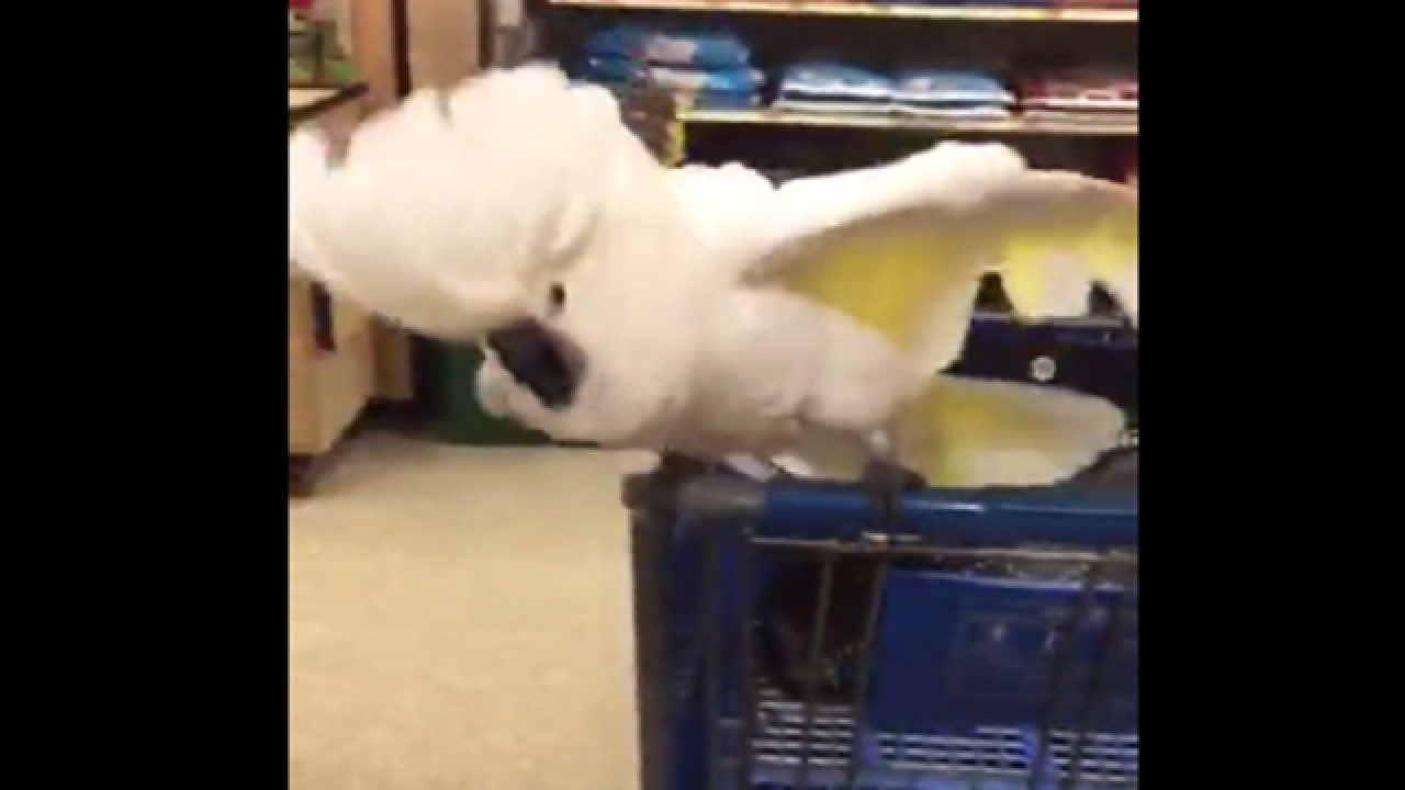WATCH: Cockatoo proves to be terrible shopping partner
