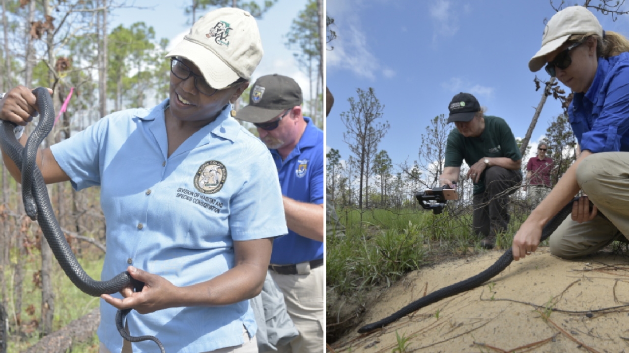15 threatened eastern indigo snakes released in Florida
