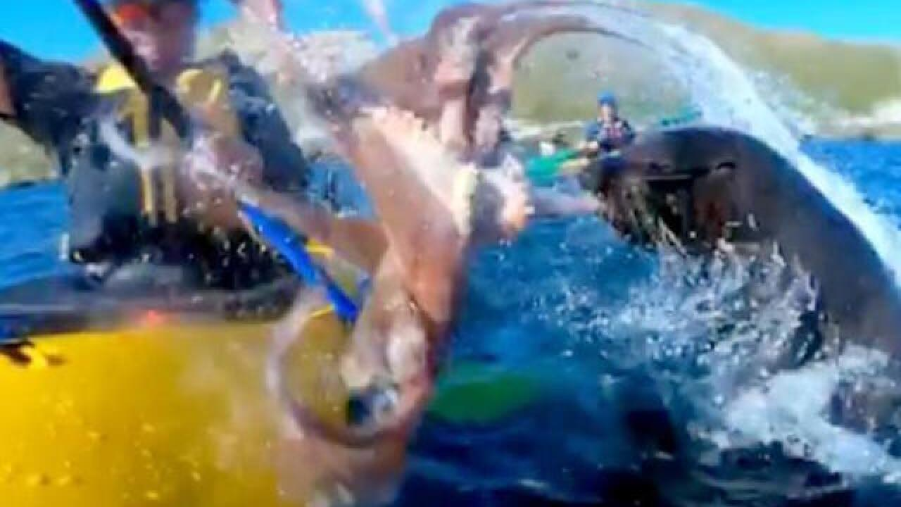 Seal slaps Australian kayaker in the face with an octopus