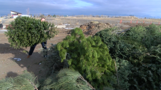 City of Helena will start collecting Christmas trees this week