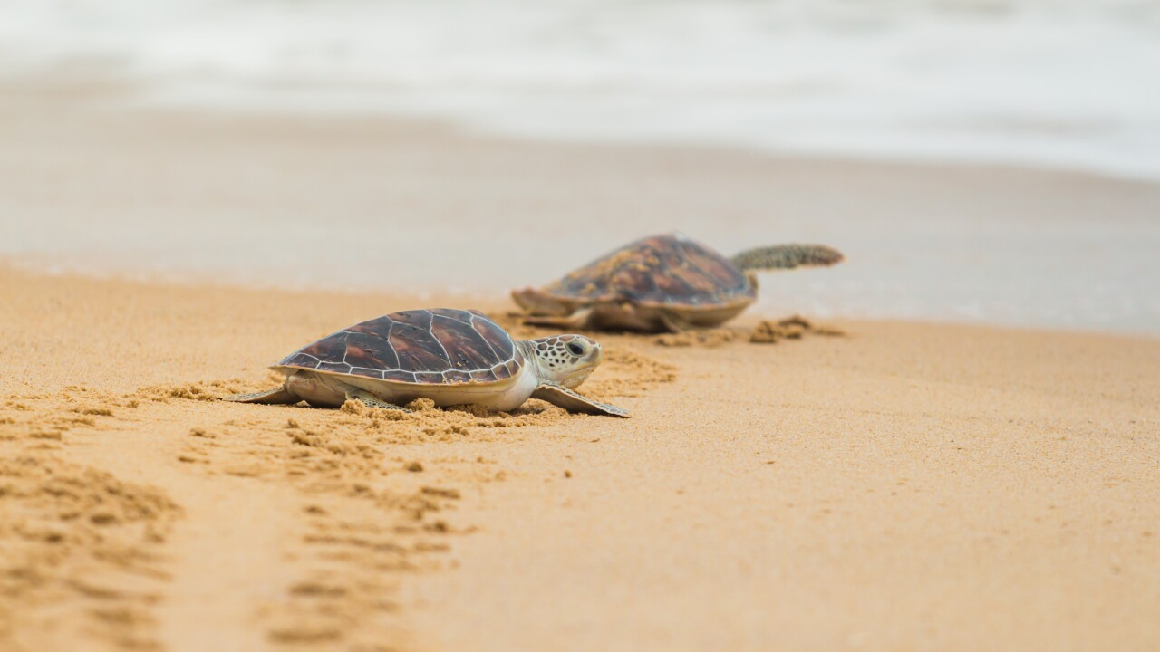 Turtle nesting record broken again at Cape Hatteras