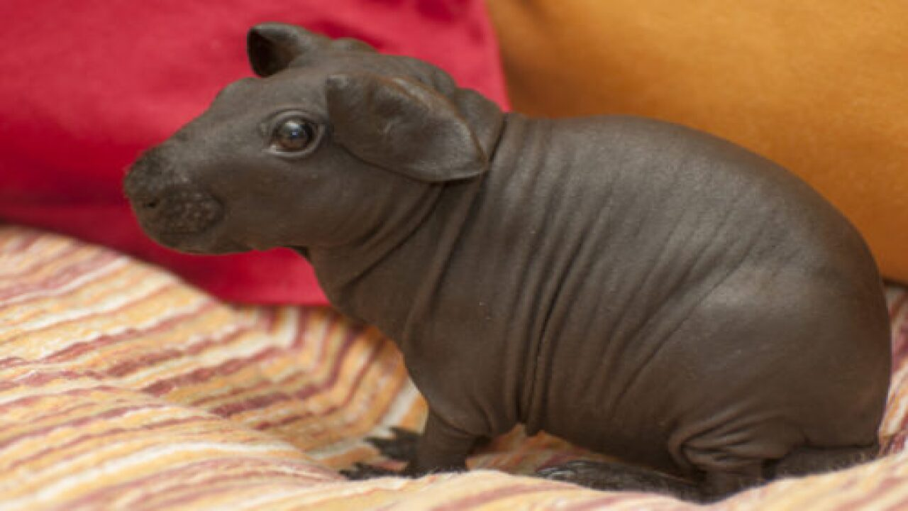 Hairless Guinea Pigs, Aka 'Skinny Pigs,' Look Just Like Tiny Hippos