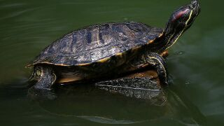 Pet turtles blamed for multistate salmonella outbreak