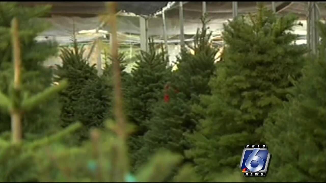 Christmas tree scarcity in Coastal Bend