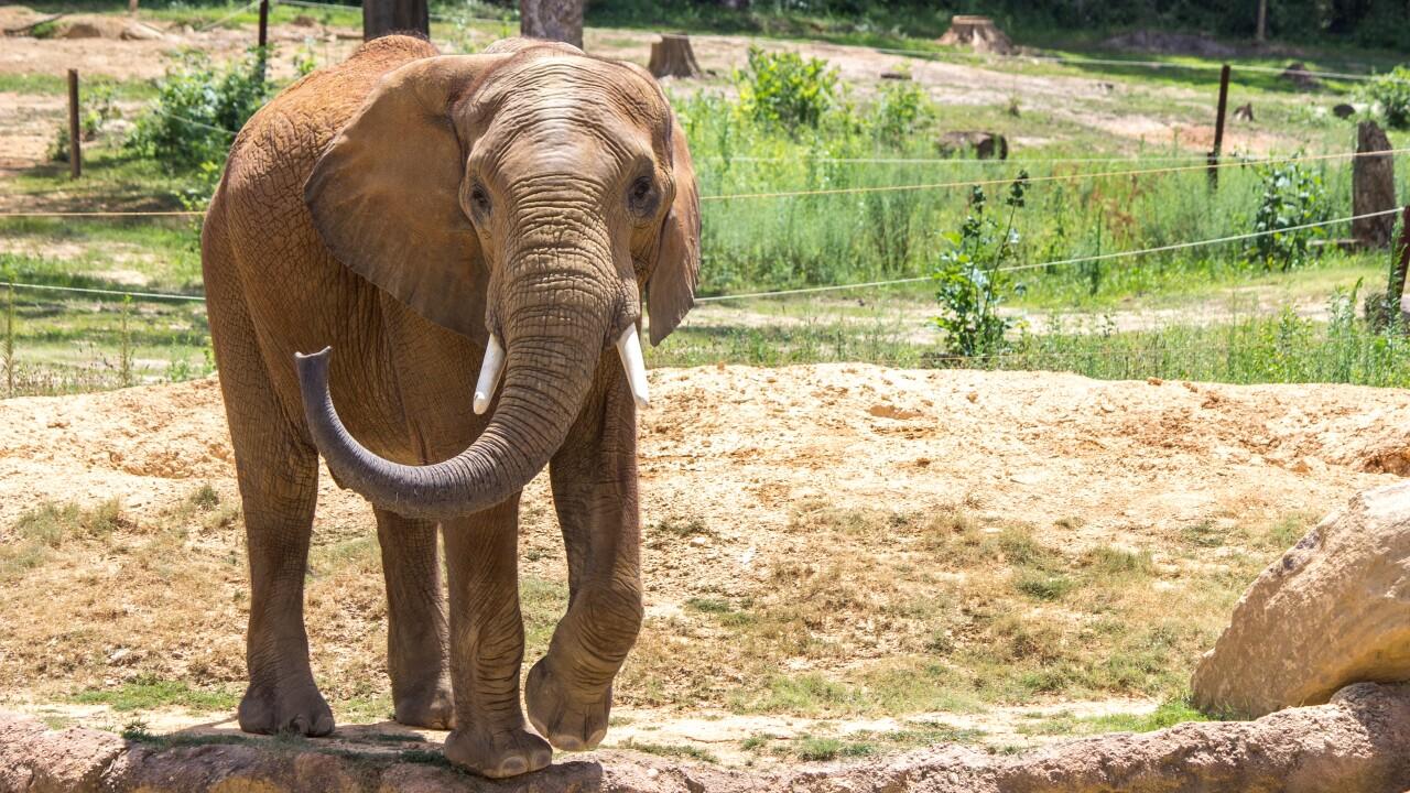 African Elephant 'Callee'  Birmingham Zoo . Scott Kayser.jpg