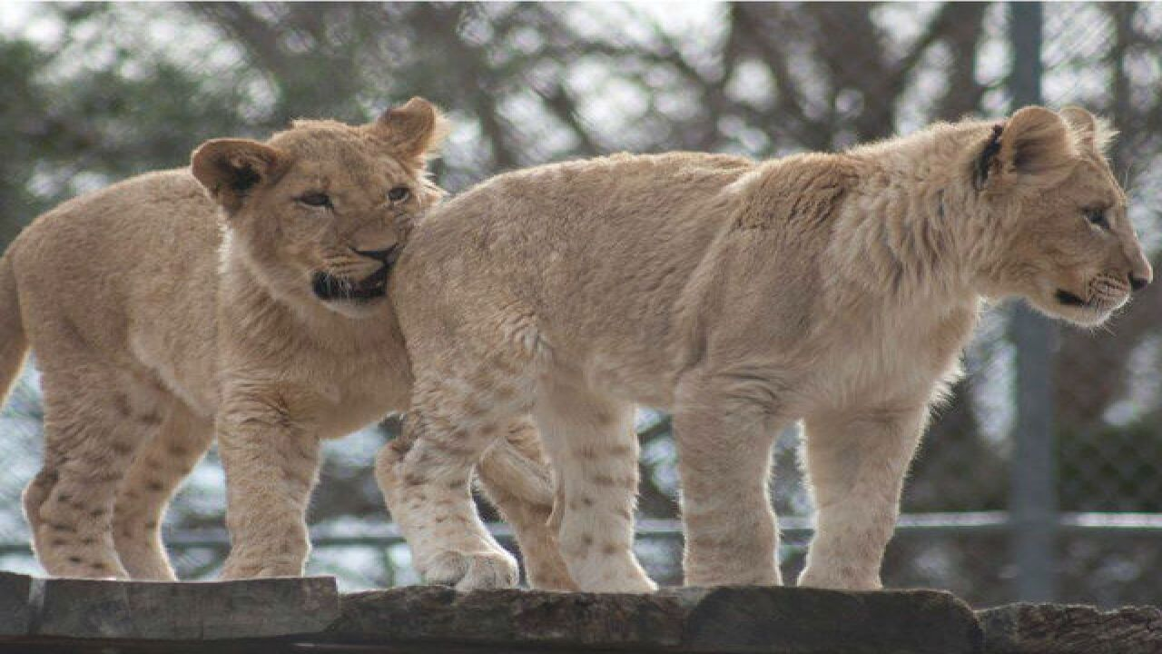 4 new lion cubs arrive at the Denver Zoo
