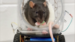 Rats learn to drive tiny cars, could advance human mental health treatment