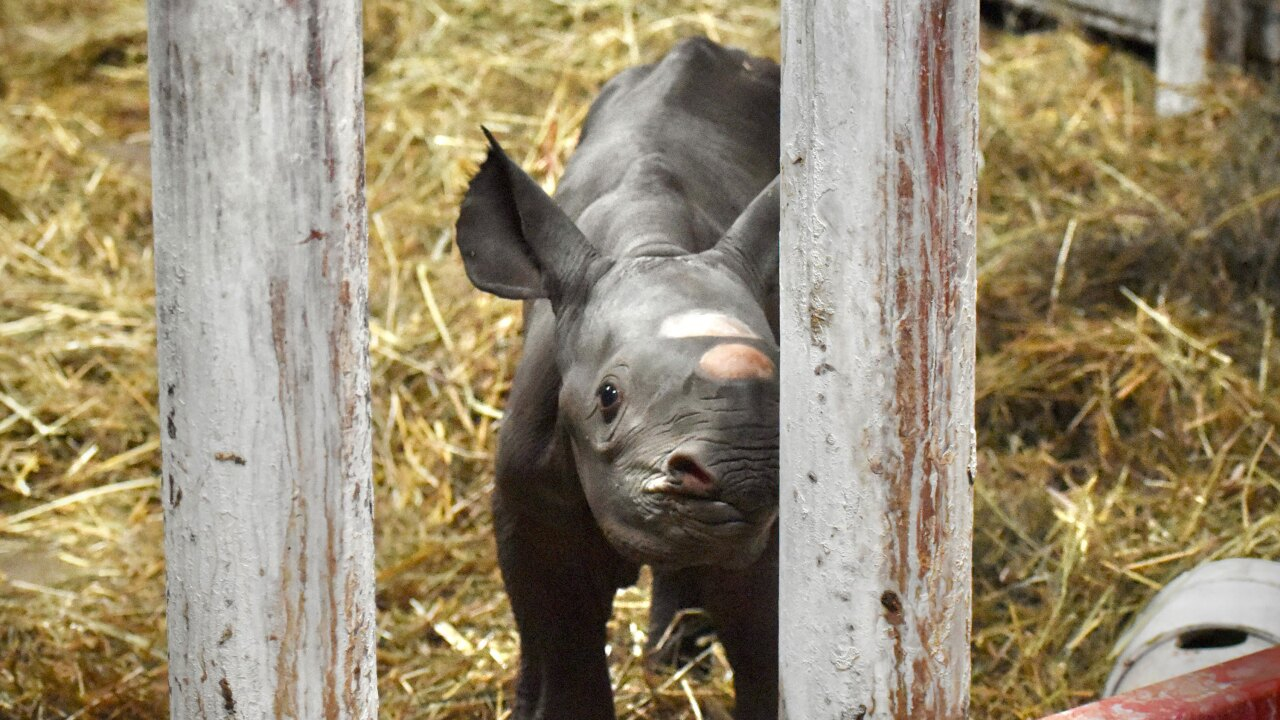 Rare black rhino born at Michigan zoo on Christmas Eve
