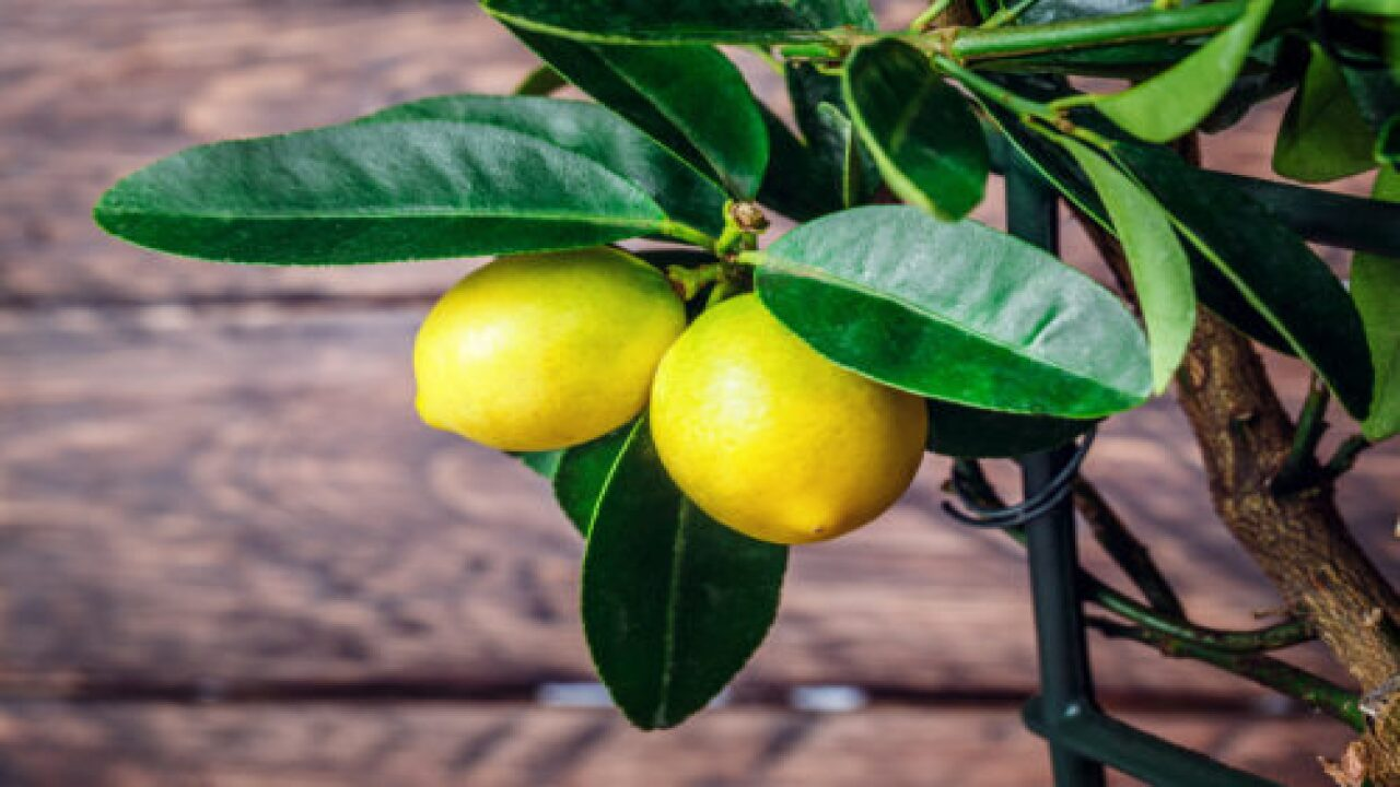 Company Delivers Mini Citrus Trees Straight To Your Door