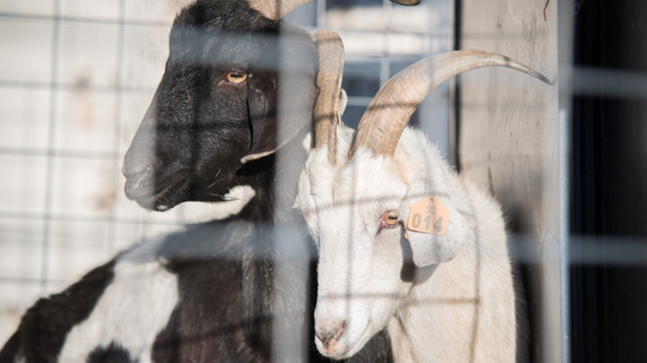 No kidding: Fibonacci Brewing Co. wants you to name two goats