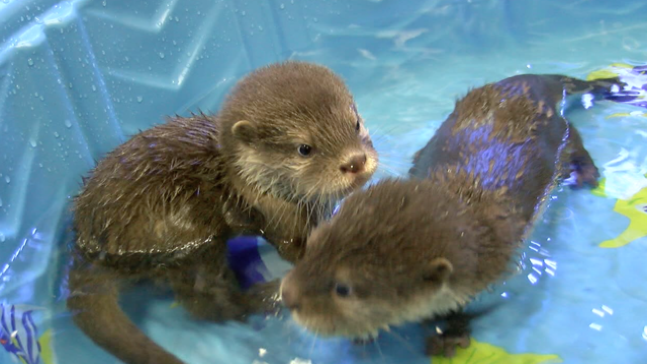 OTTER CAM: Baby Otters' First Swim Lesson!