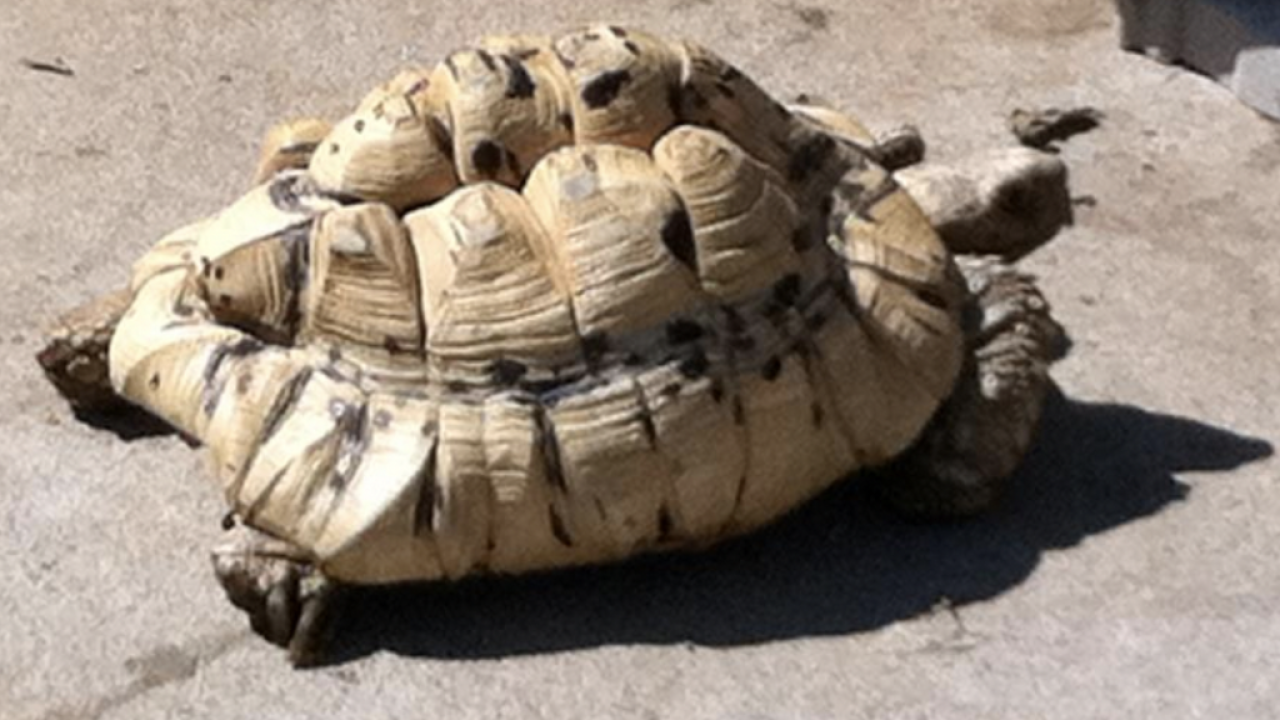 Rare tortoise believed stolen from back yard