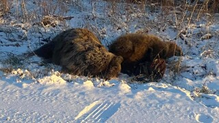Bigfork Grizzly Bear Deaths