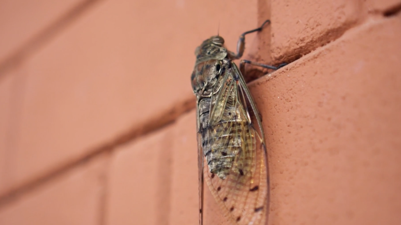 The cicadas will emerge, potentially by the billions, across 15 states, east of the Mississippi, meaning tens of millions of Americans will likely see them.