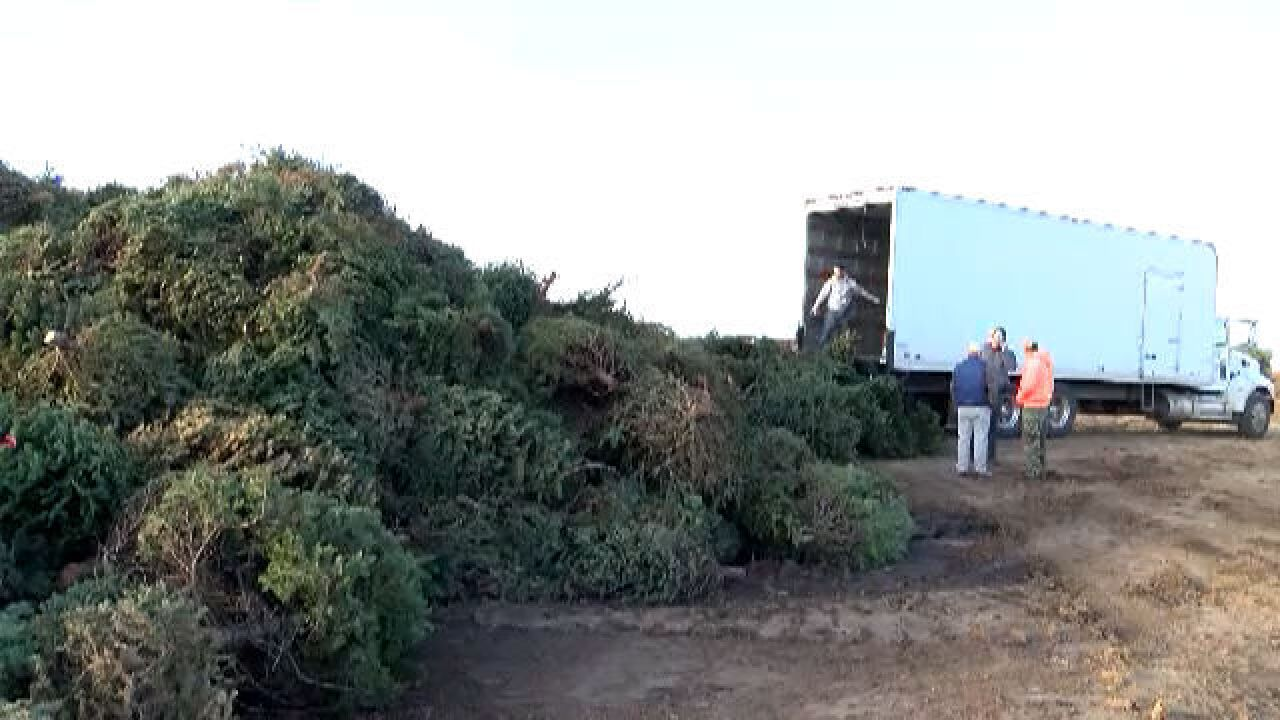 City/County Christmas Tree Recycling Available Monday