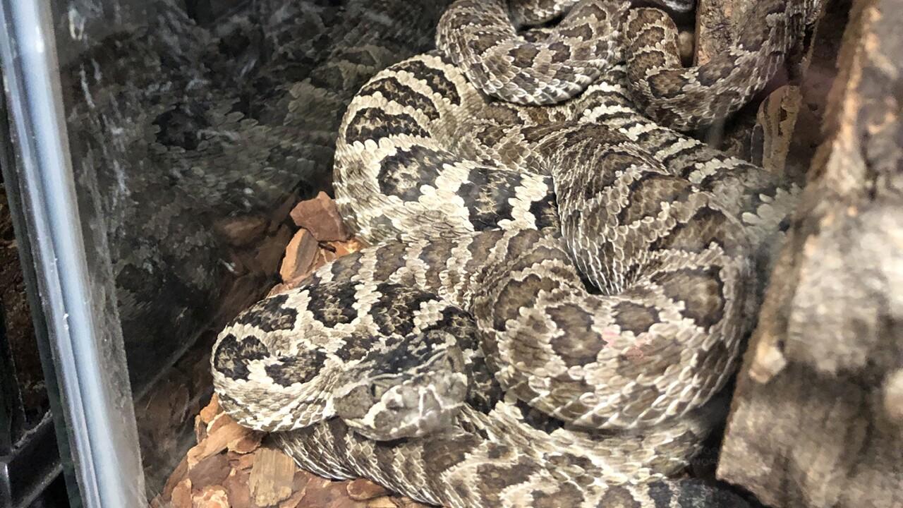 Snake - G Basin Rattle lr.jpg
