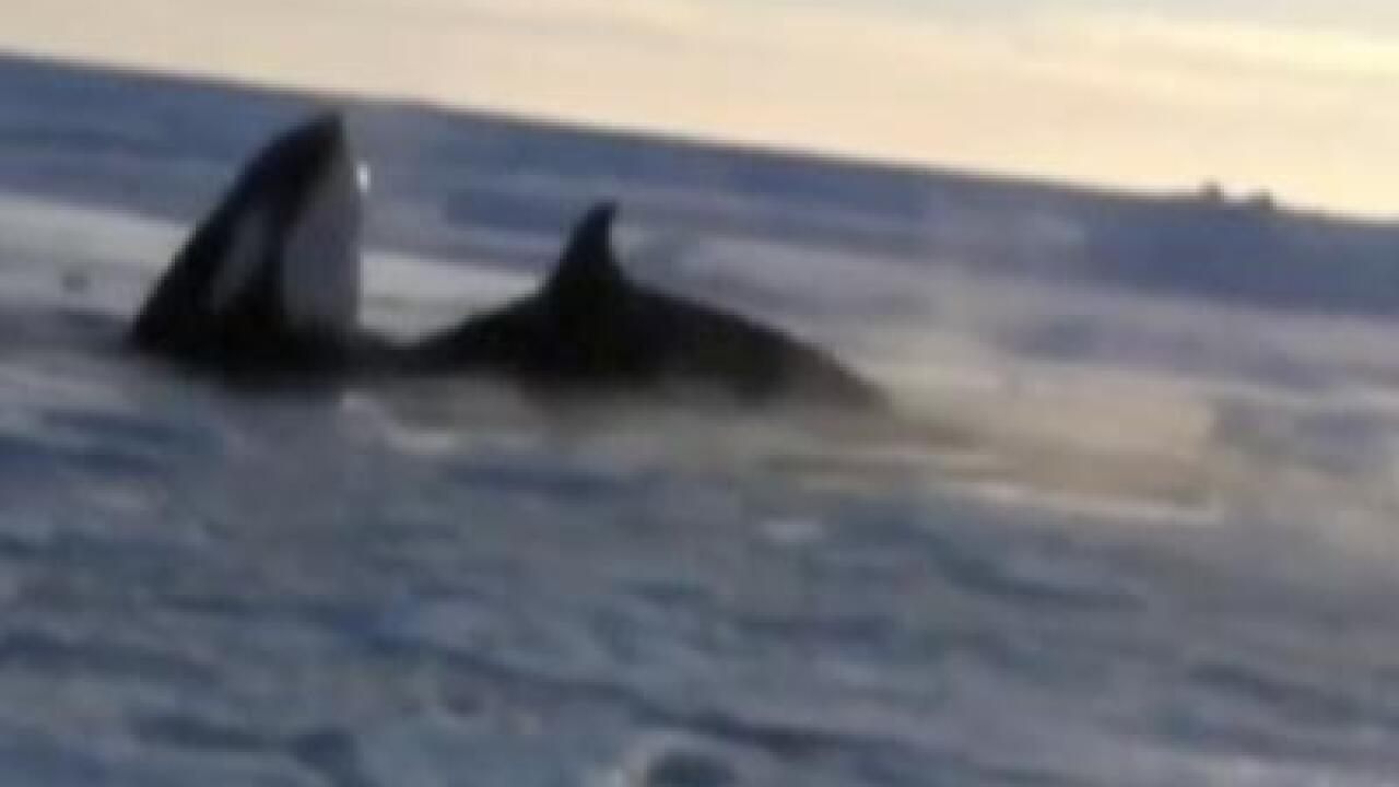 Canadians rush to save 11 trapped killer whales