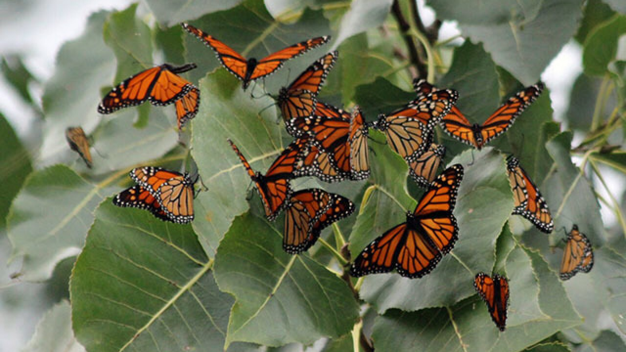 Thousands of monarchs stop by Lake Erie
