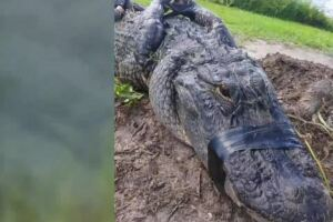Port St. Lucie man describes alligator encounter