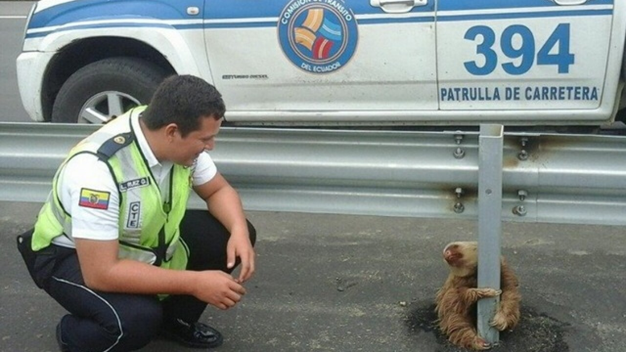 Scared sloth rescued from busy Ecuador highway