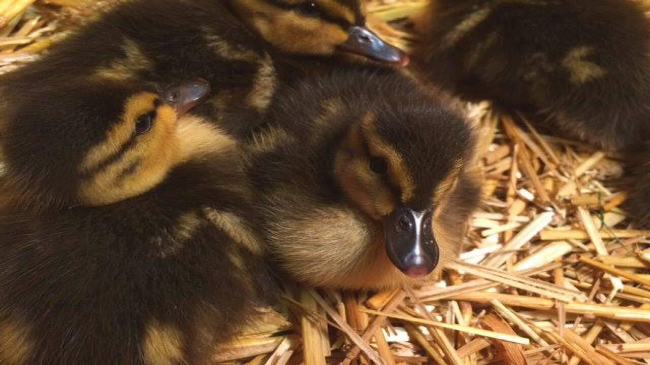 Ferndale DPW workers rescue ducklings