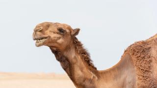 Camel-generic-PEXELS.png