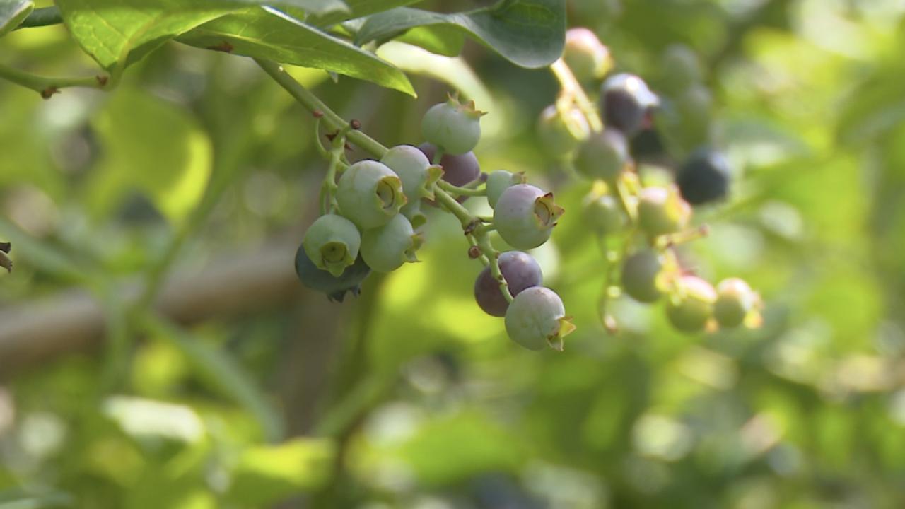 DeGrandChamp's Blueberry Farms