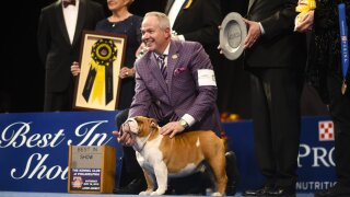 Thor the Bulldog takes home top prize at the National Dog Show