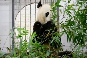 Bei Bei the panda arrives in China