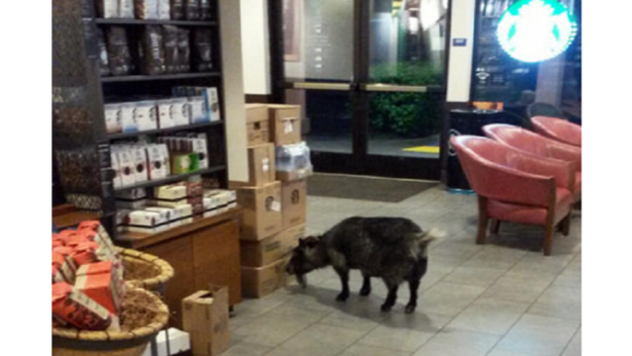 Goat breaks free, goes on Starbucks run