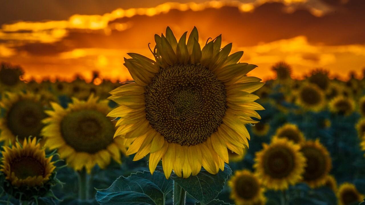 Sunflower fields near DIA are in full bloom