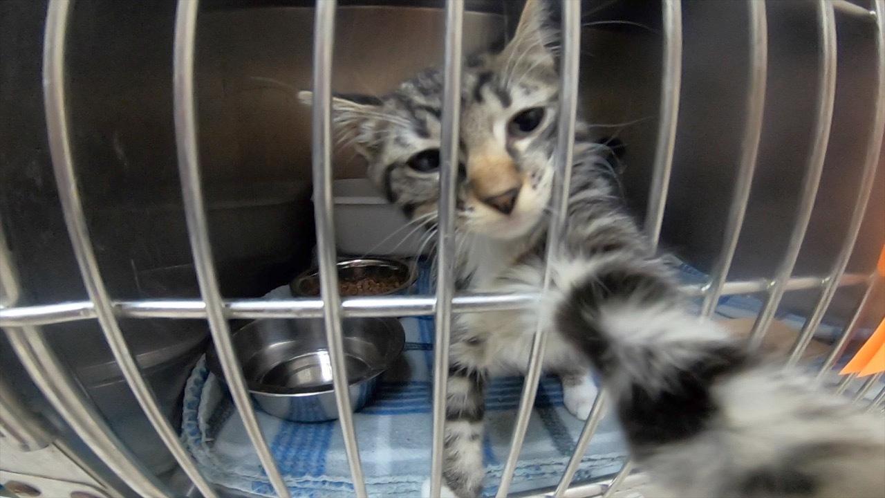 Shelter cat Stassy Olmos.png