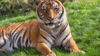 Sita the tiger 2