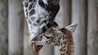 Theo Cincinnati Zoo giraffe