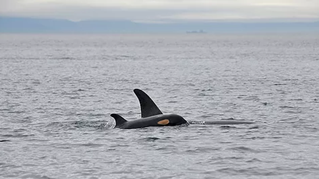 Female baby Southern Resident Killer Whale has been born, only 76 such whales left