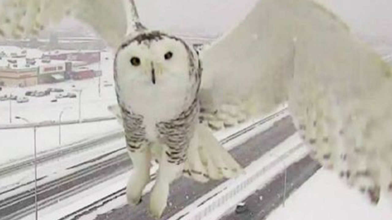 Traffic camera shows snow-covered owl in flight