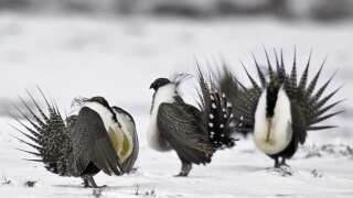 Gunnison sage grouse remains protected under Endangered Species Act