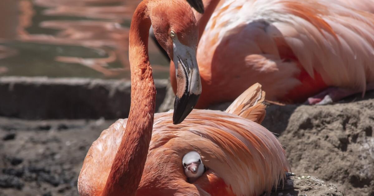 SeaWorld welcomes new flamingo chicks to the 'flamboyance'
