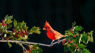 christmas-cardinal