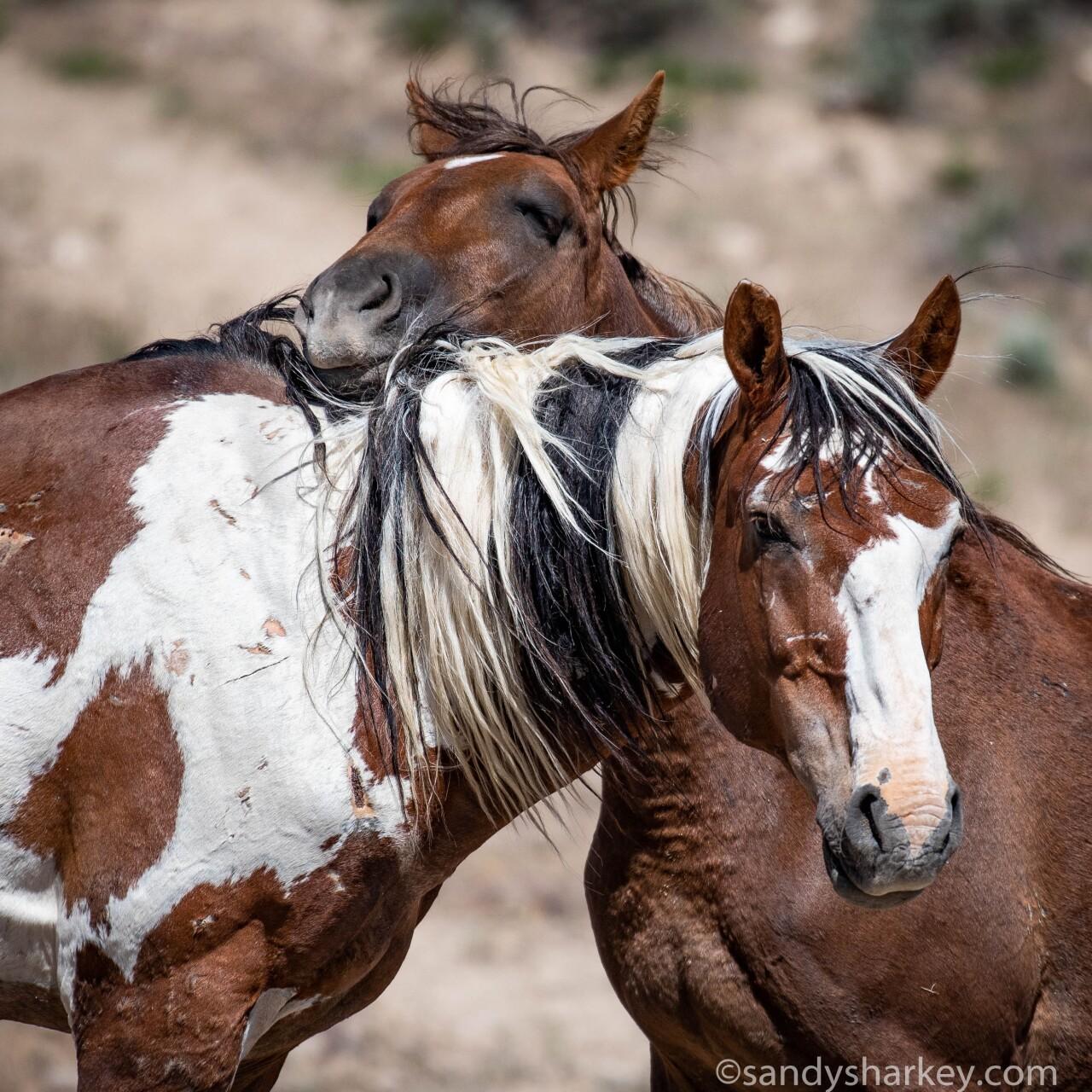 Picasso and Spirit Dancer wild horses