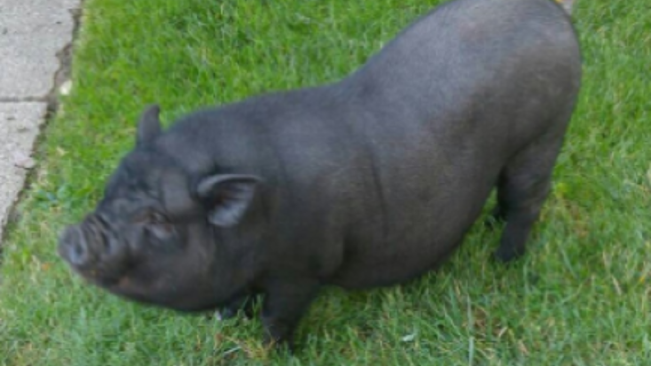 Missing pig reunited with owner in Garden City