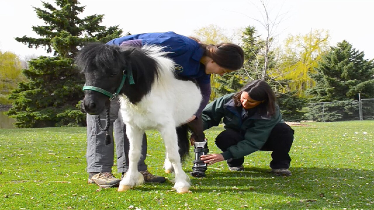 Mini-horse gets prosthetic hoof after dog attack