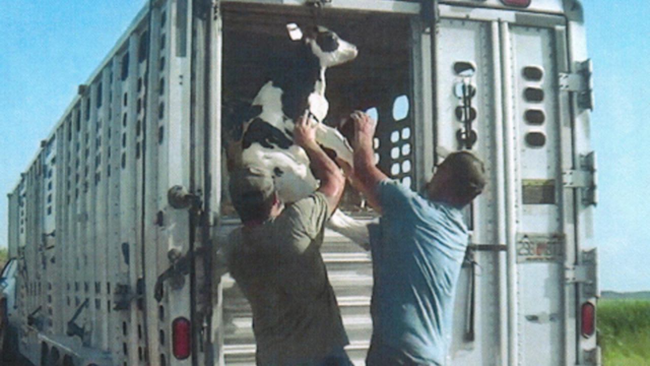 Davie Dairy in Okeechobee County accused of mistreating cows by Animal Recovery Mission