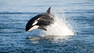 killer whale orca generic.PNG