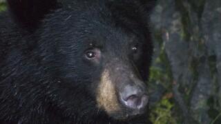 Experts: Indiana black bear hibernating in wildlife refuge